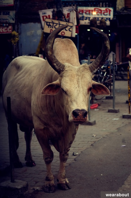 indian street cow